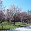 こどもの日、桜をみながら金融教育